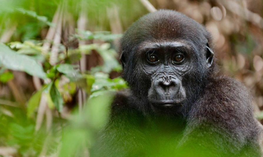 Where do gorillas get their name from