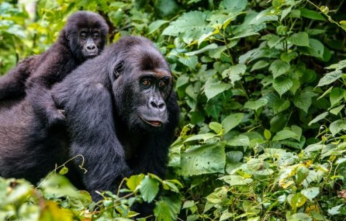 Gorilla Safari in Rwanda & Recreation at Gisenyi Lake Kivu