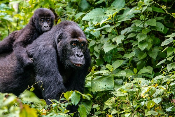 6 days Uganda gorilla safari Mgahinga & Wildlife tour/ 6 days gorilla safari Uganda