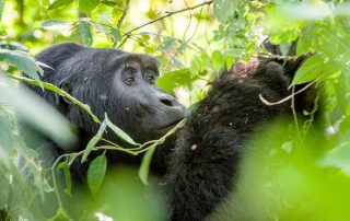 Gorilla in Uganda eating