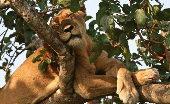 4 Days Queen Elizabeth Park Safari in Uganda Tour