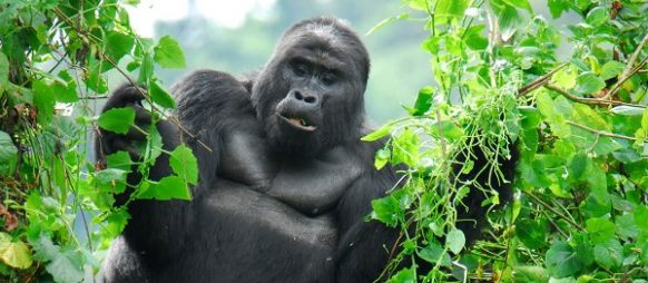What is the size of the Mountain gorilla?