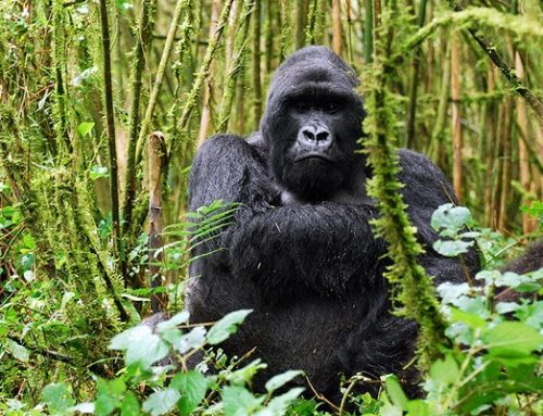 Mgahinga Gorilla National Park- the place where silver meets gold.