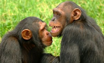 Ol Pejeta Conservancy Chimpanzee viewing