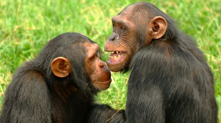Chimpanzee Habituation No longer a Full Day Uganda Safari Experience