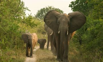 3 Queen Elizabeth Park Safari Uganda, Queen Elizabeth National Park Wildlife Safari in Uganda