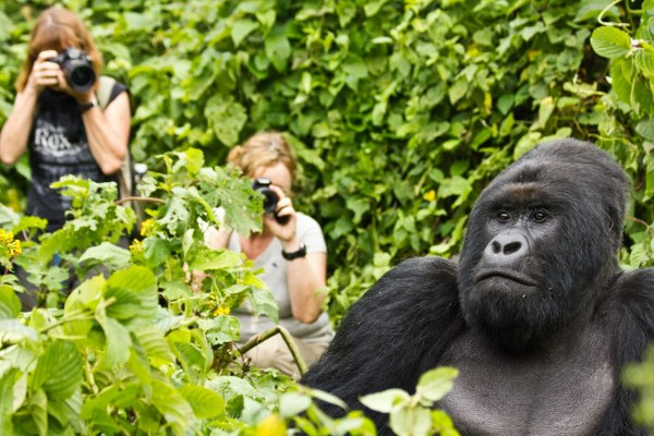 Are Mountain Gorillas Dangerous to Human Beings? – Uganda Safari News
