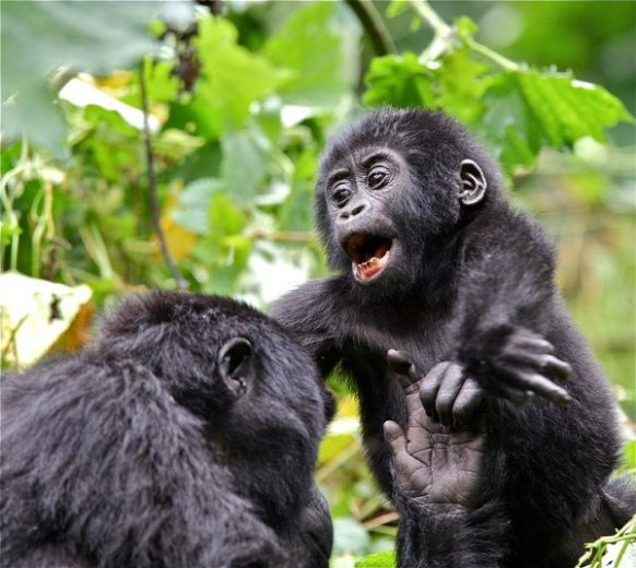 3 Days Gorilla Safari to Mgahinga National Park