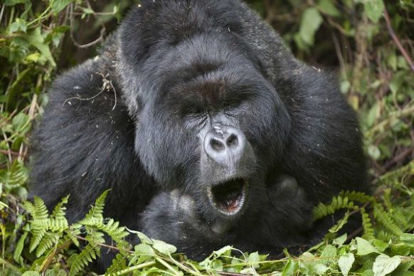 5 Days Congo Gorilla Safari,