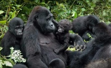 6 Days Uganda Gorilla Safari & Chimpanzee Trek
