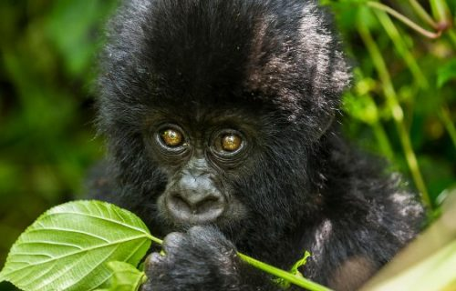 4 Days Uganda Gorilla Safari Bwindi, Gorilla Tour Uganda Wildlife Safari Tour Lake Mburo Park