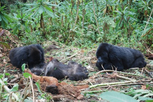 Grieving behavior in Gorillas; study shows-Rwanda safari news