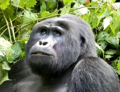 Uganda's Bwindi Impenetrable National Park Records an Increase in the Gorilla Population