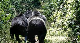 gorilla trekking in uganda frequently asked questions