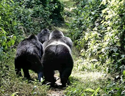 Congo Coronavirus Update: March 24th: Virunga National Park Closes All Gorilla Tourism Activities Until The Month Of June 2020