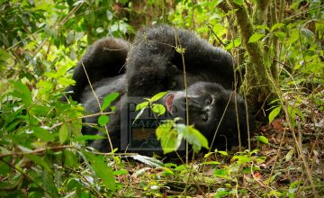 5 Days Congo Safari Tour, Double Gorilla Trekking in Virunga National Park, Nyiragongo Volcano Trek
