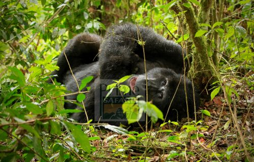 What are the chances of seeing Mountain Gorillas in Uganda? – Uganda Safari News