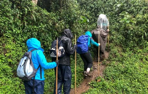 Is it possible to trek Mountain Gorillas in the Rainy Season? Uganda Safari News