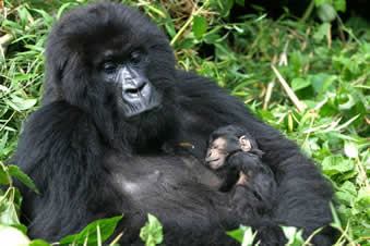 How many babies do female gorillas have?